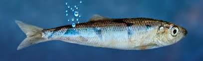 Billedresultat for herring fart
